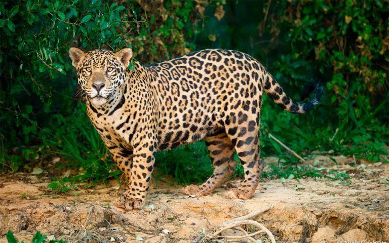 Con campaña #ReyJaguar urgen a proteger al felino en Latinoamérica